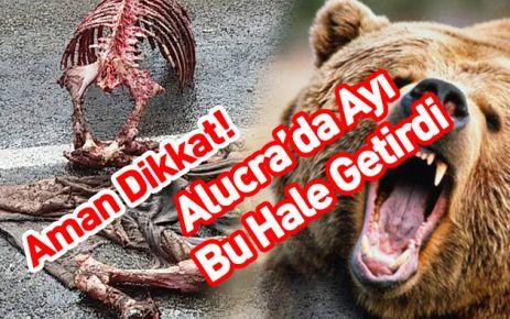 Alucra'da Aç Ayılar  Atı parçaladı