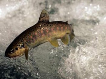 Giresun'a Özel balık