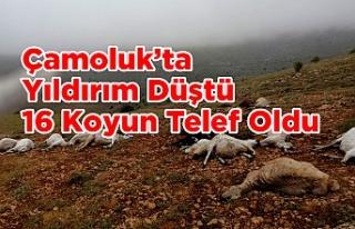 Çamoluk'ta Yıldırım Düştü 16 Koyun Telef...
