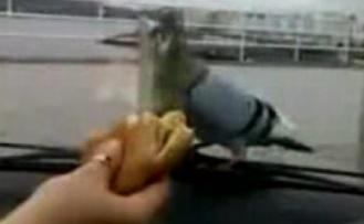 Güvercine cam arkası ekmek işkencesi VİDEO