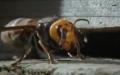 Bal arıları eşek arısını böyle öldürdü