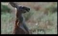 Yaşamak için Mücadele etmek Lazım Kangurunun Yaban köpeğine karşı koyması